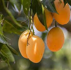 mango8